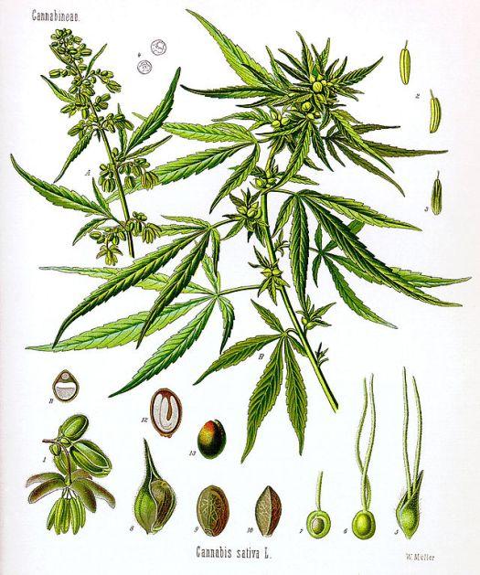 marihuana praha praga narkotyki w pradze trawka w pradze jaranie imprezy trawa